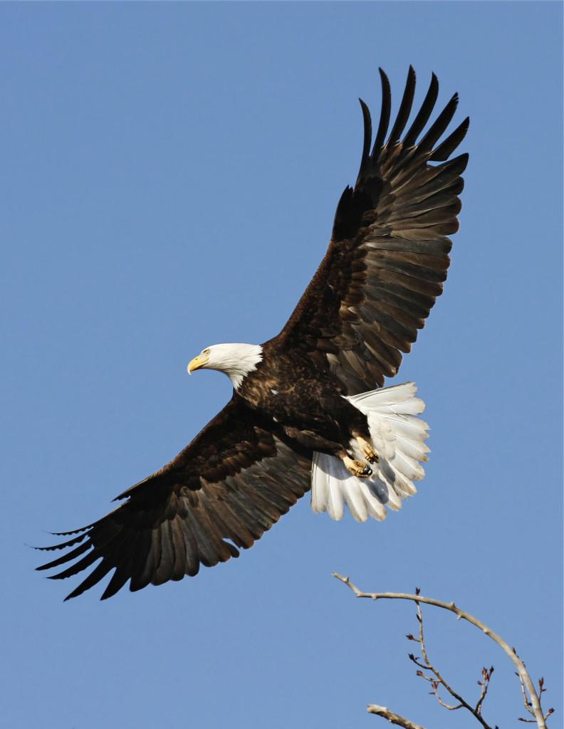 EagleInFlight